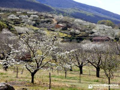 Cerezos en flor en el Valle del Jerte - árboles cerezos en flor;torrelaguna botas de montaña barra